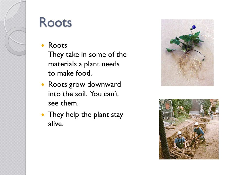 Roots Roots They take in some of the materials a plant needs to make food. Roots grow downward into the soil. You can't see them.