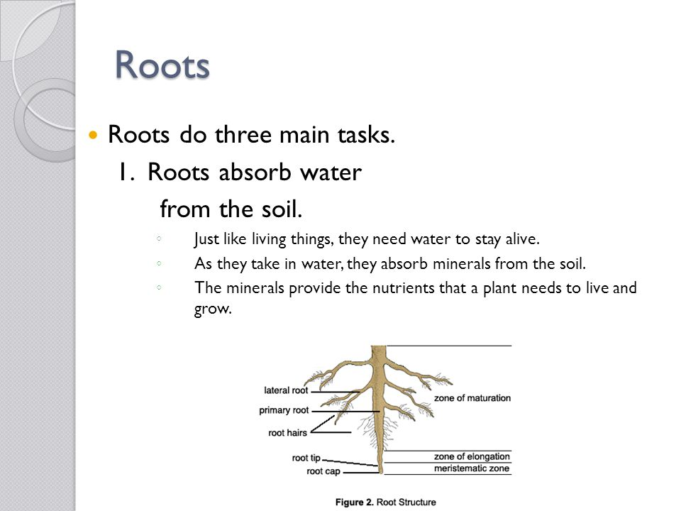 Roots Roots do three main tasks. 1. Roots absorb water from the soil.