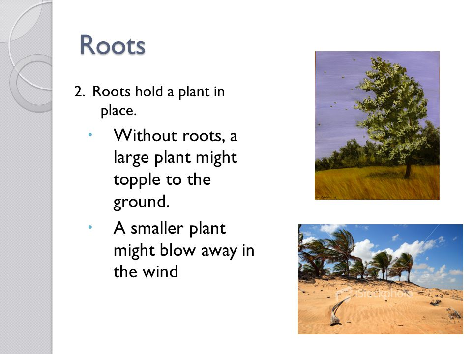 Roots Without roots, a large plant might topple to the ground.