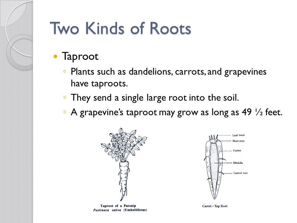 Two Kinds of Roots Taproot