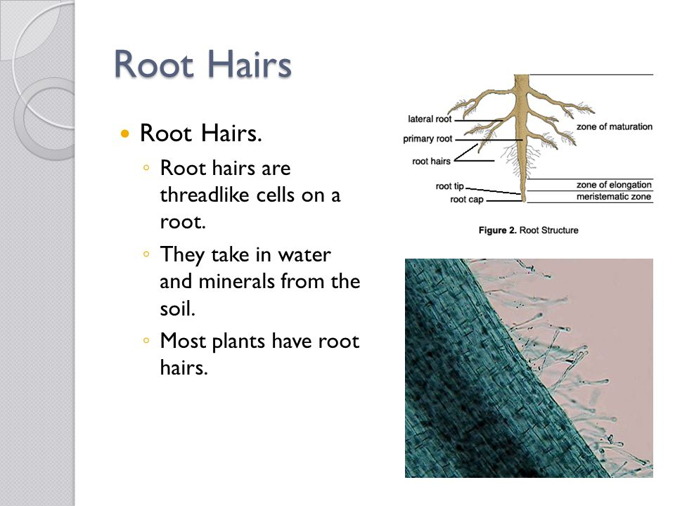 Root Hairs Root Hairs. Root hairs are threadlike cells on a root.
