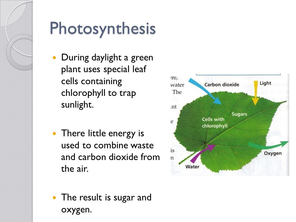 Photosynthesis During daylight a green plant uses special leaf cells containing chlorophyll to trap sunlight.