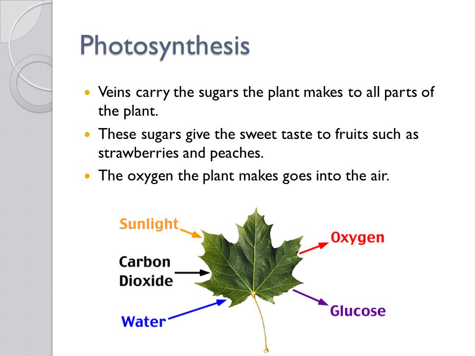 Photosynthesis Veins carry the sugars the plant makes to all parts of the plant.