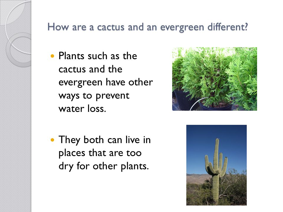 How are a cactus and an evergreen different