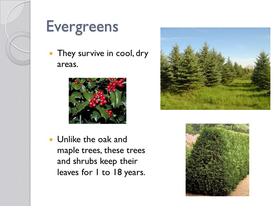 Evergreens They survive in cool, dry areas.