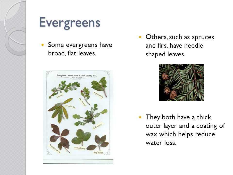 Evergreens Others, such as spruces and firs, have needle shaped leaves.