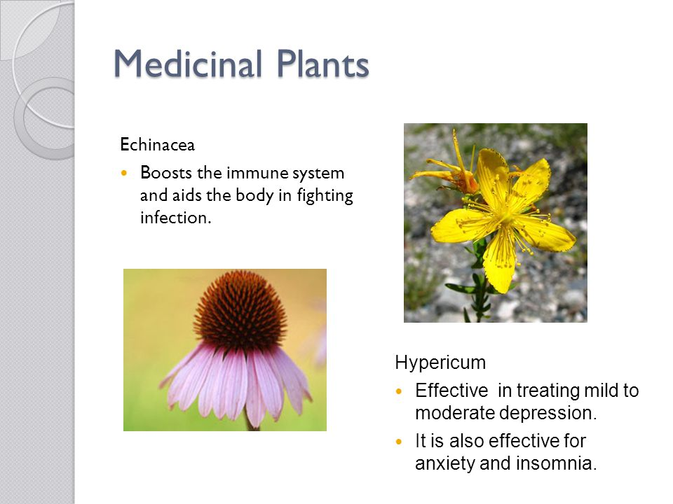 Medicinal Plants Echinacea