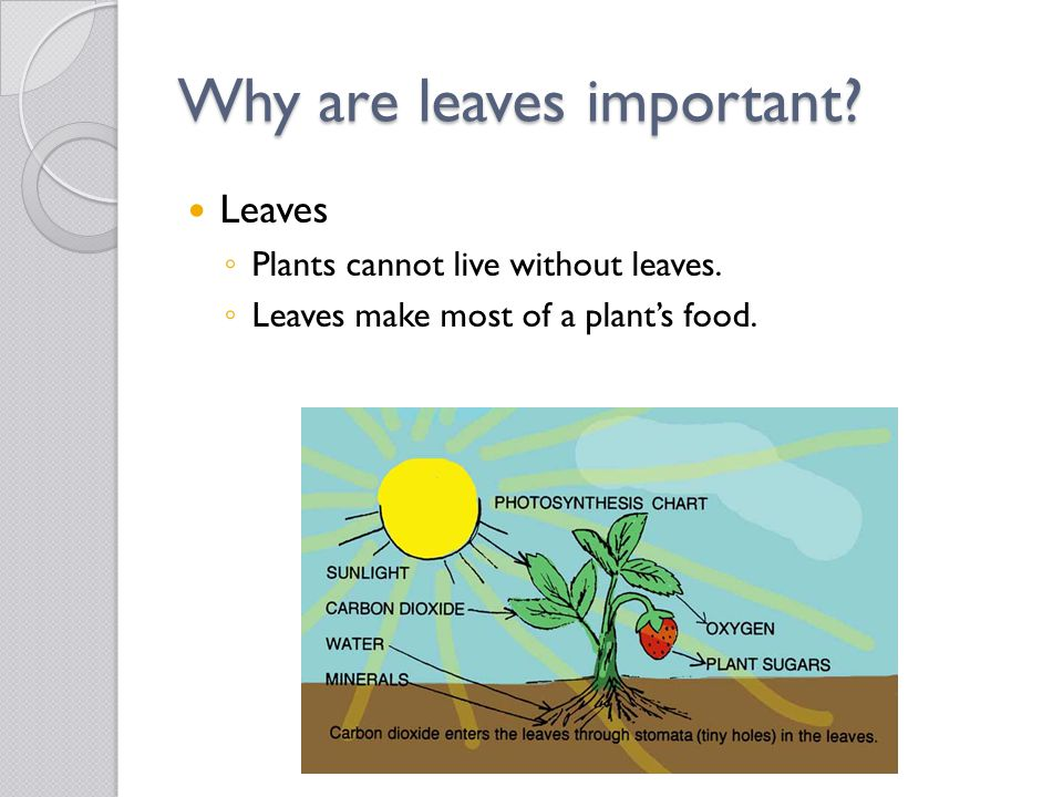 Why are leaves important