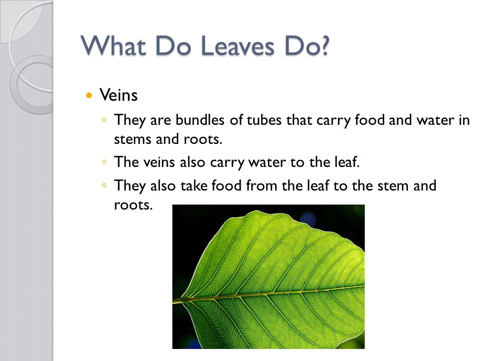 What Do Leaves Do Veins. They are bundles of tubes that carry food and water in stems and roots.
