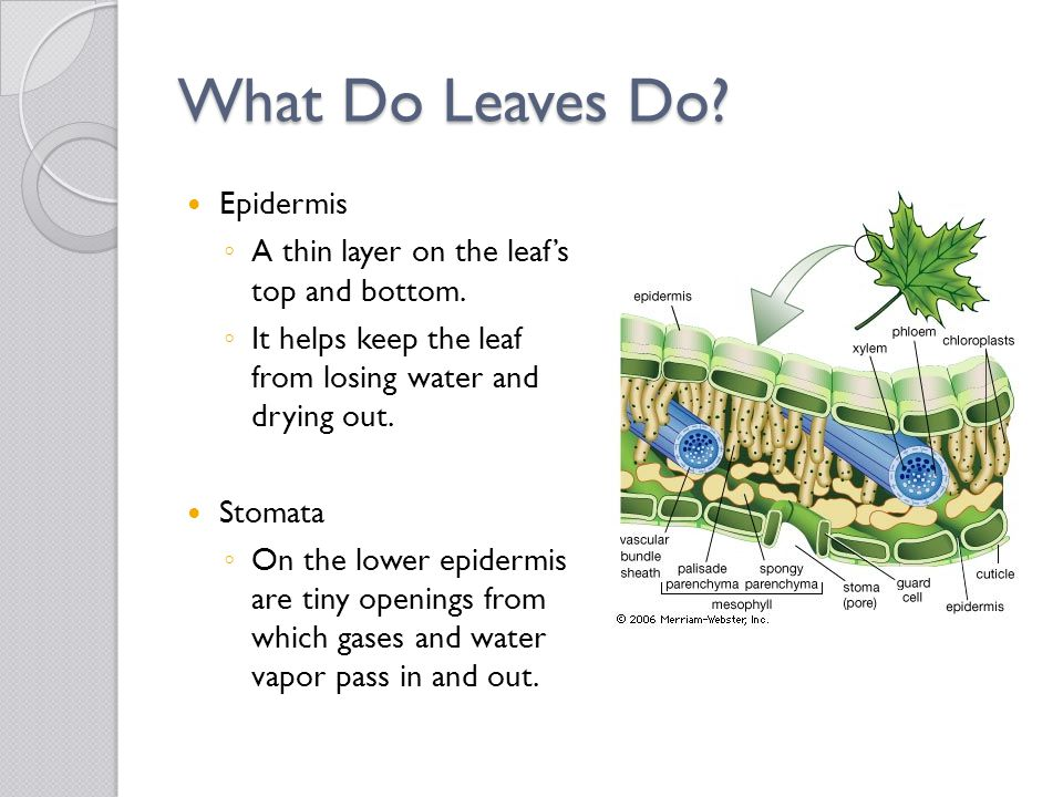 What Do Leaves Do Epidermis