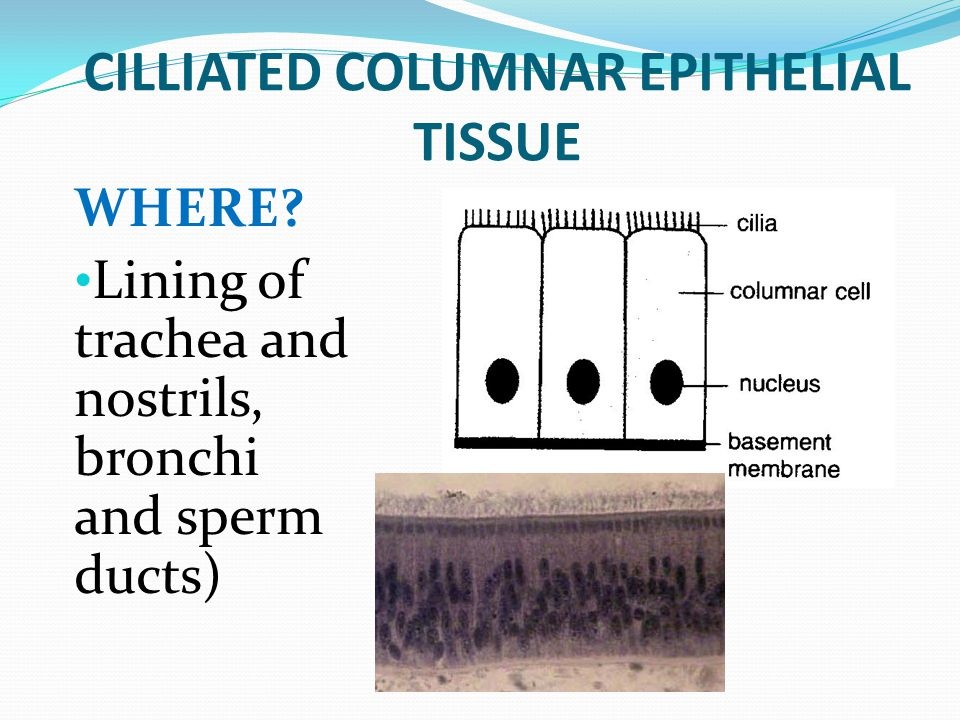 CILLIATED COLUMNAR EPITHELIAL TISSUE