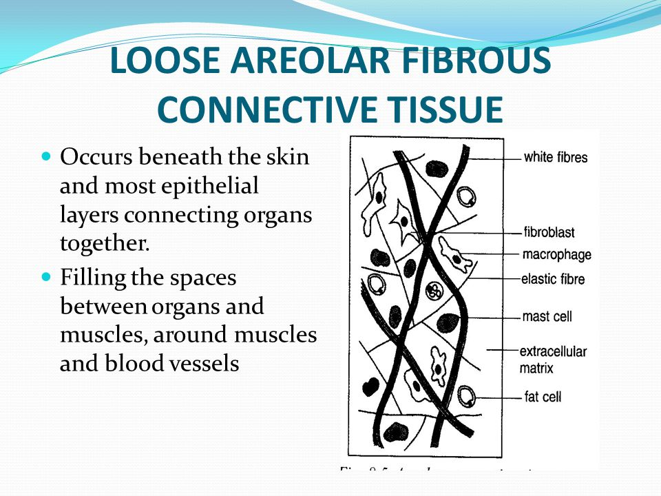 LOOSE AREOLAR FIBROUS CONNECTIVE TISSUE