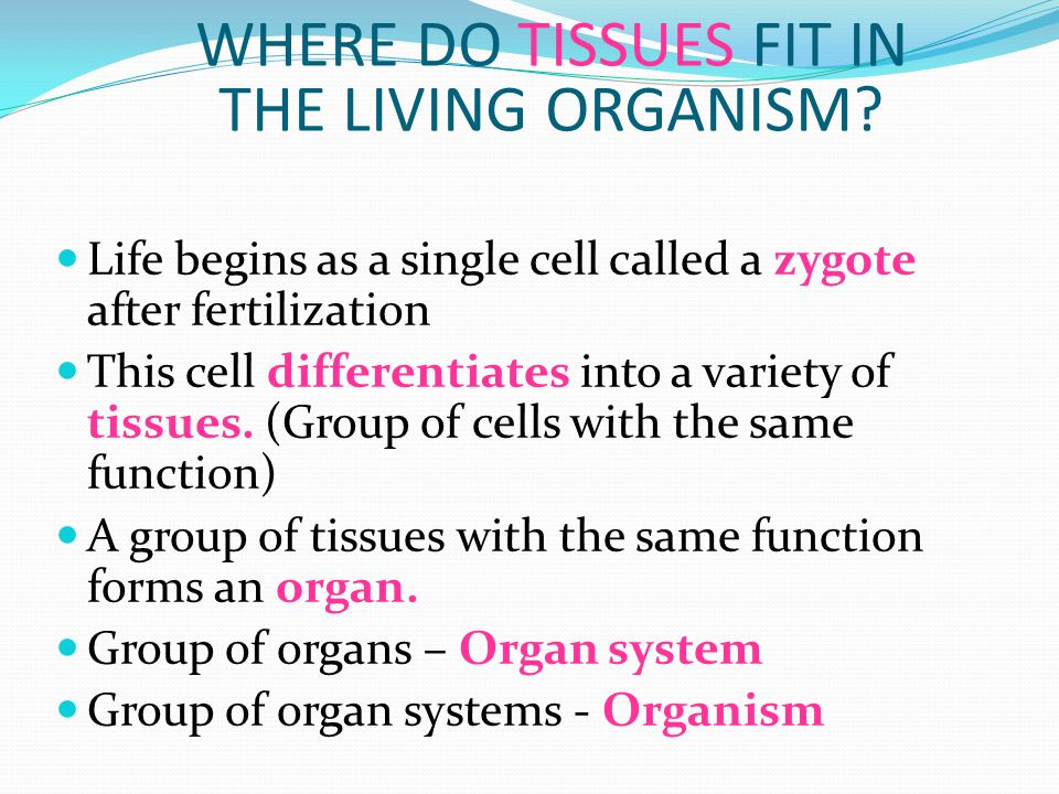 WHERE DO TISSUES FIT IN THE LIVING ORGANISM