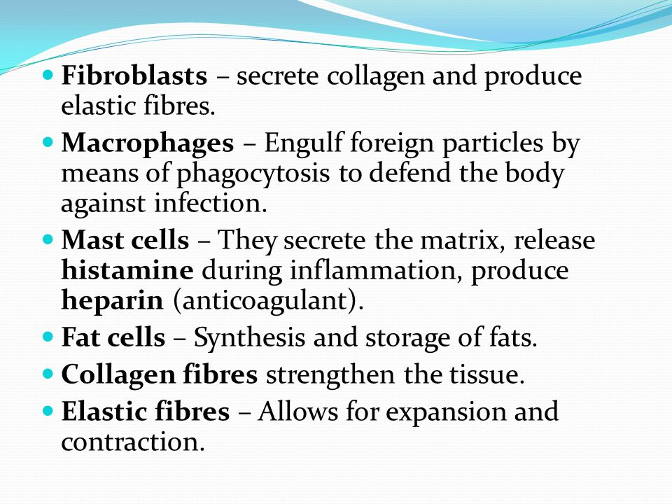 Fibroblasts – secrete collagen and produce elastic fibres.