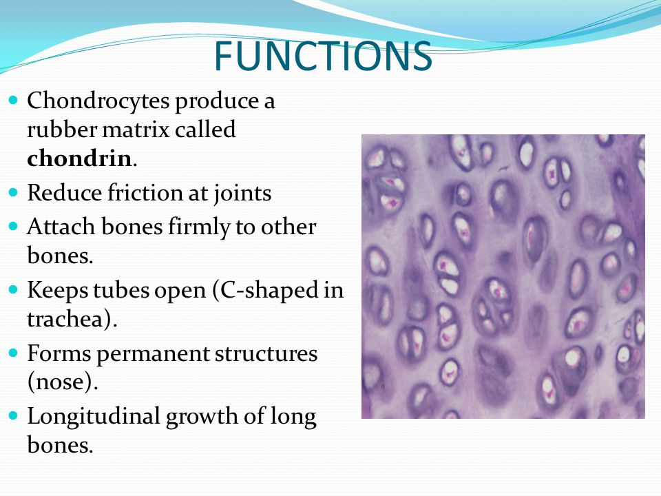 FUNCTIONS Chondrocytes produce a rubber matrix called chondrin.