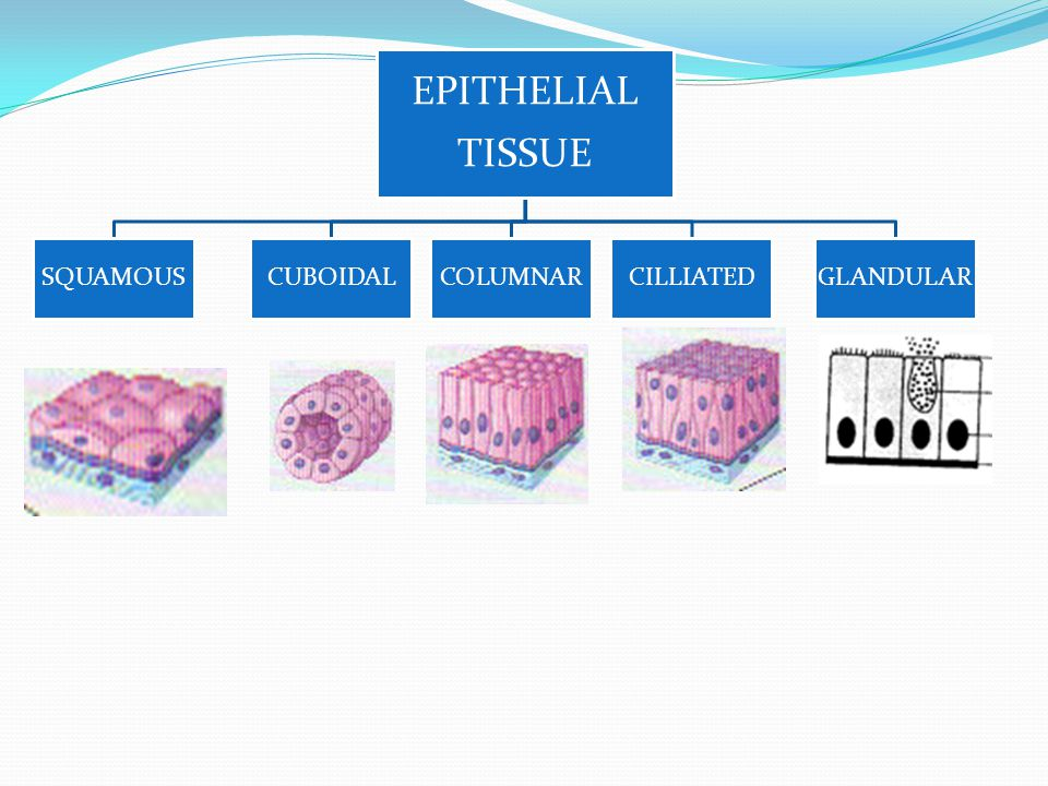 EPITHELIAL TISSUE SQUAMOUS CUBOIDAL COLUMNAR CILLIATED GLANDULAR