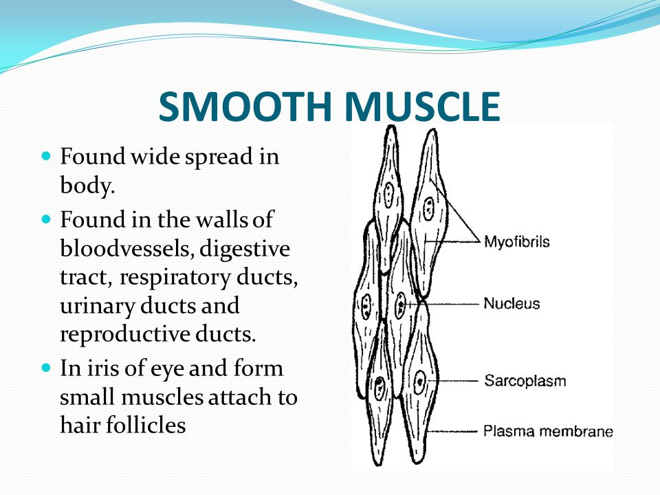 SMOOTH MUSCLE Found wide spread in body.