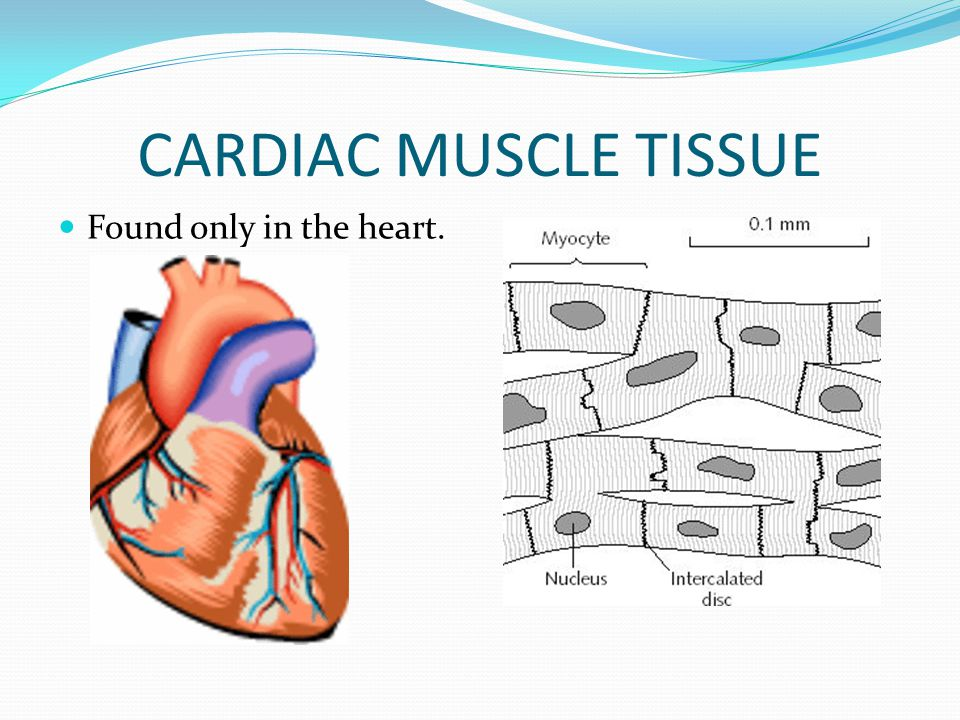 CARDIAC MUSCLE TISSUE Found only in the heart.