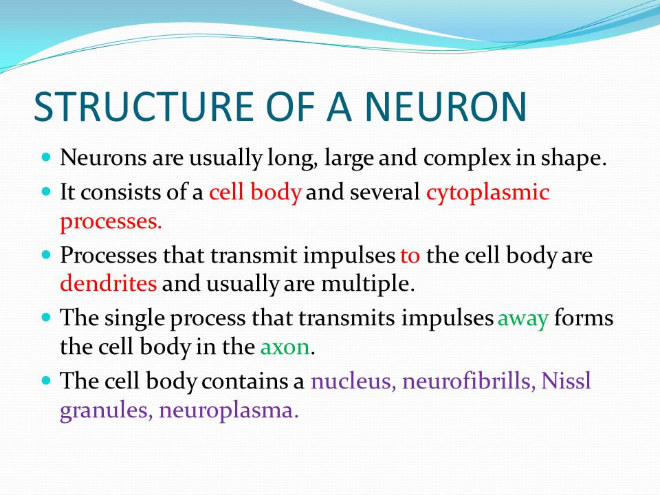STRUCTURE OF A NEURON Neurons are usually long, large and complex in shape. It consists of a cell body and several cytoplasmic processes.