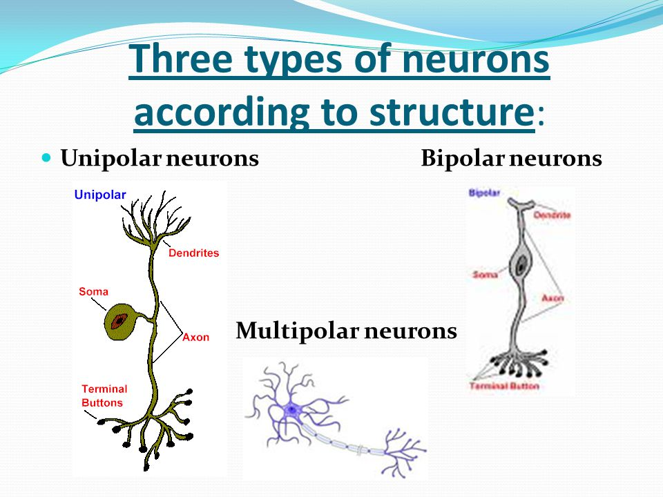 Three types of neurons according to structure: