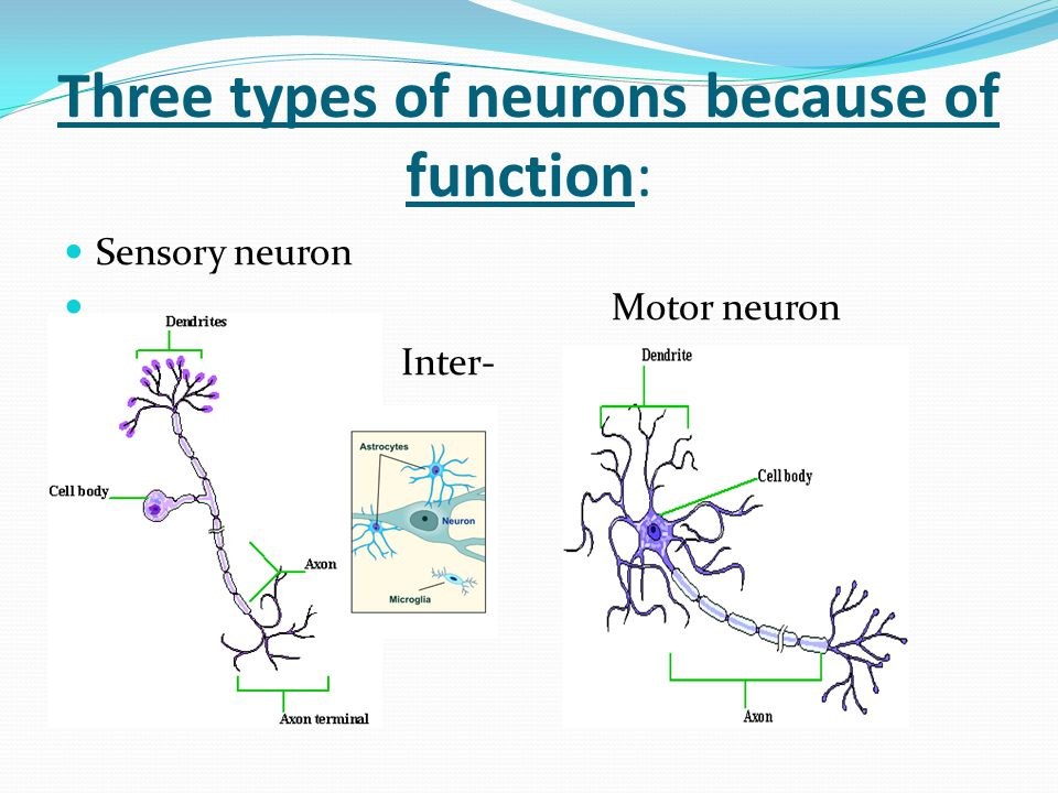 Three types of neurons because of function: