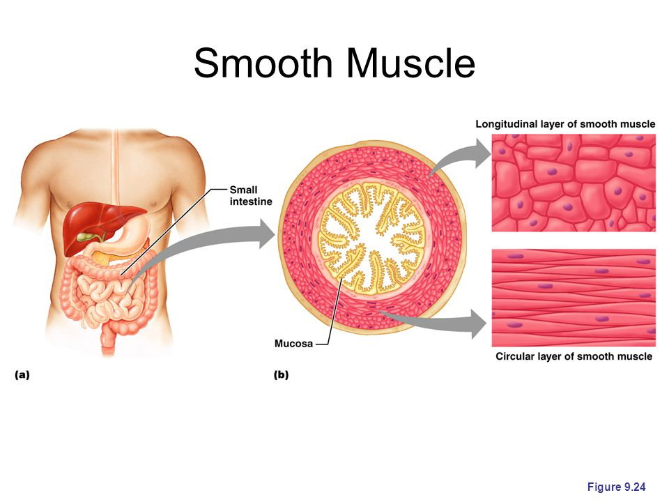 Smooth Muscle Figure 9.24