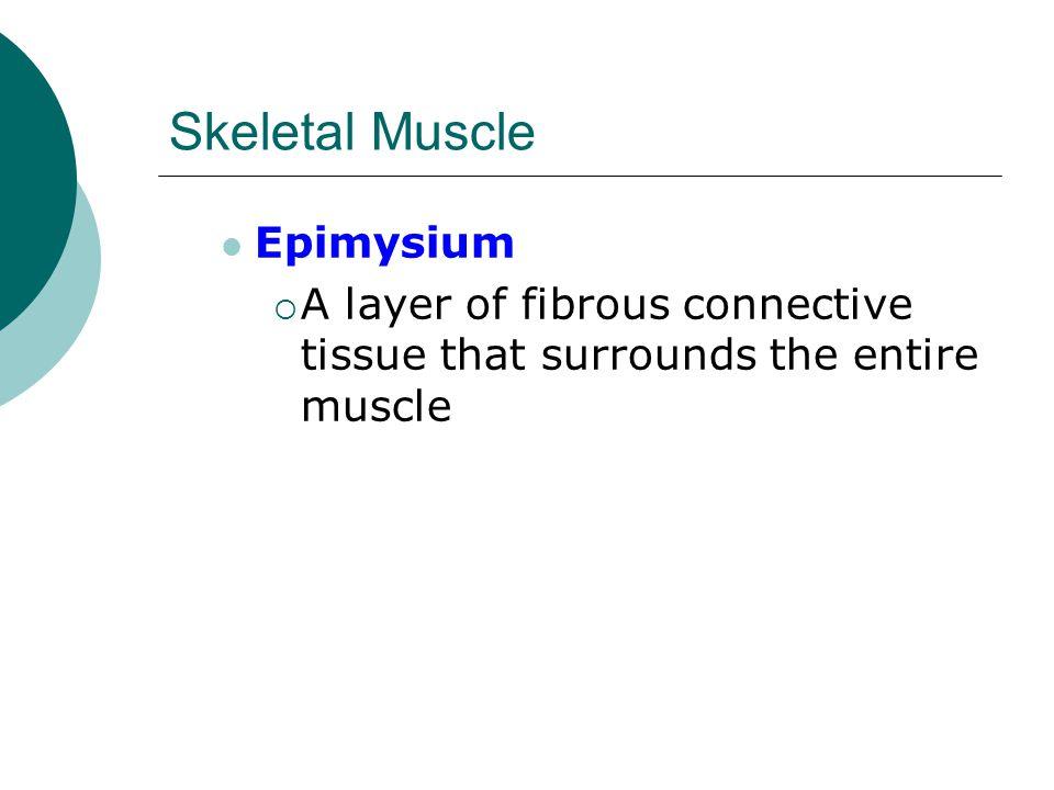 Skeletal Muscle Epimysium
