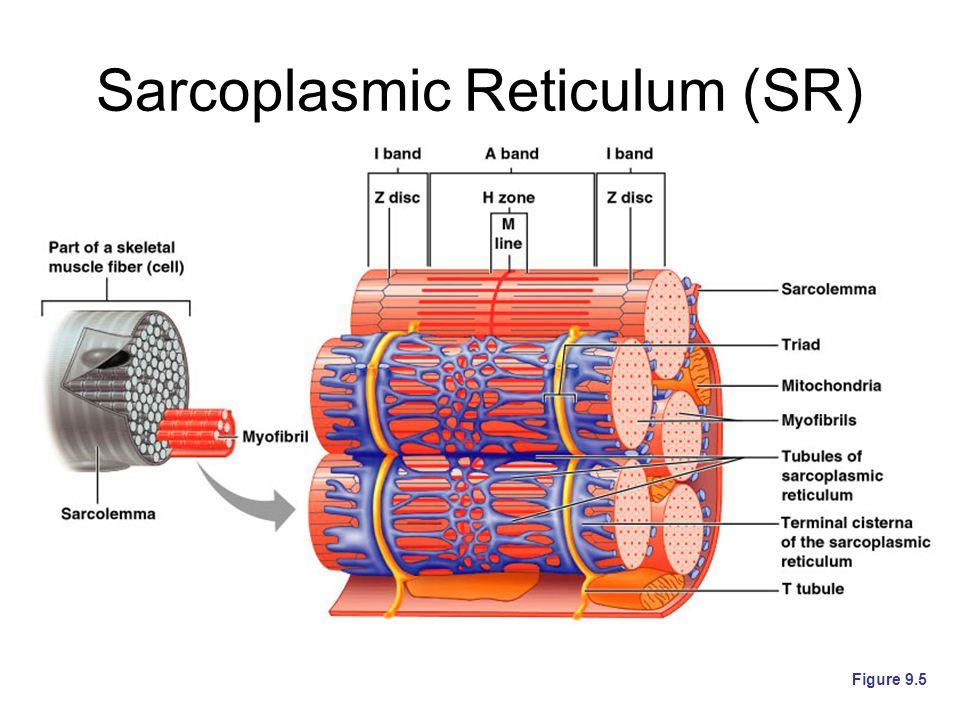 Sarcoplasmic Reticulum (SR)