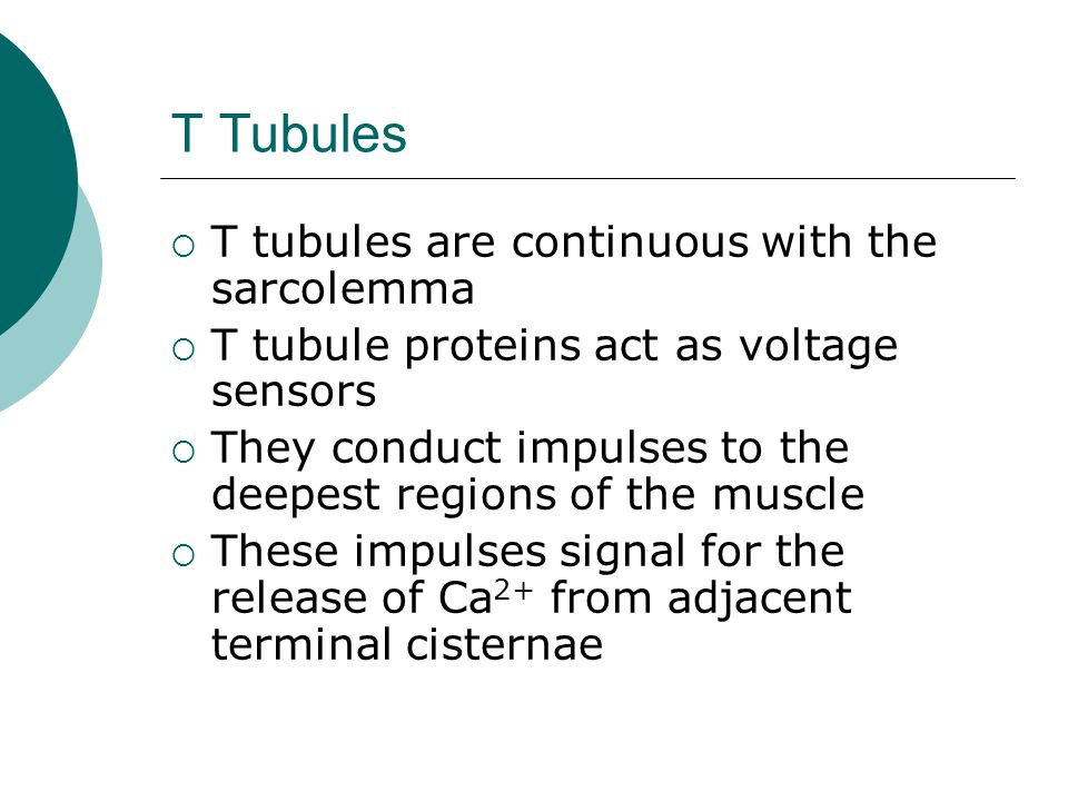 T Tubules T tubules are continuous with the sarcolemma