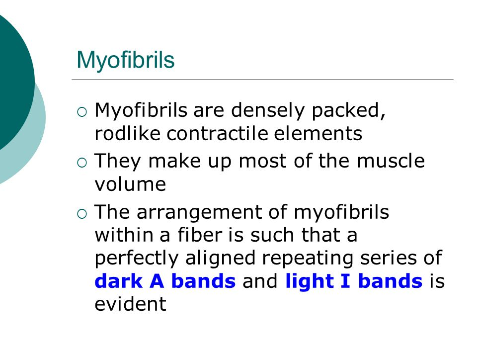 Myofibrils Myofibrils are densely packed, rodlike contractile elements