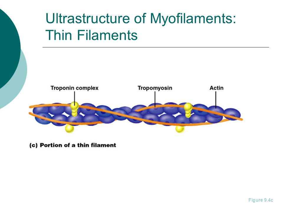 Ultrastructure of Myofilaments: Thin Filaments