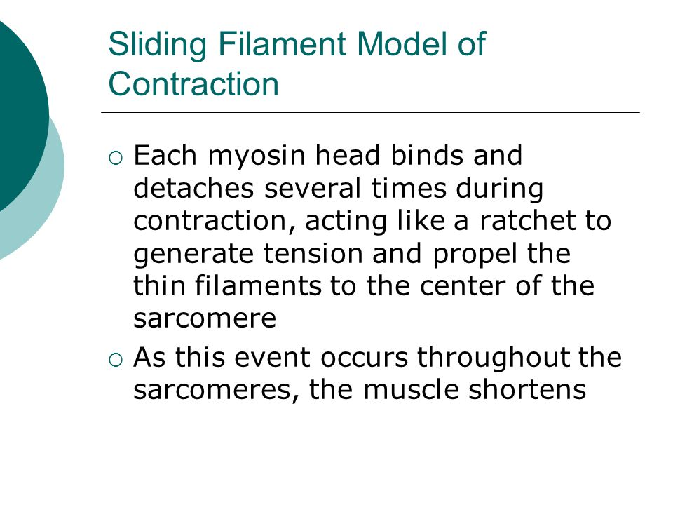 Sliding Filament Model of Contraction