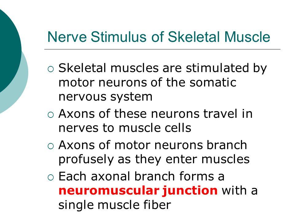 Nerve Stimulus of Skeletal Muscle