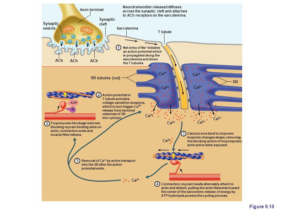 Figure 9.10 Synaptic cleft vesicle 1 ACh SR tubules (cut) SR 2 6 3