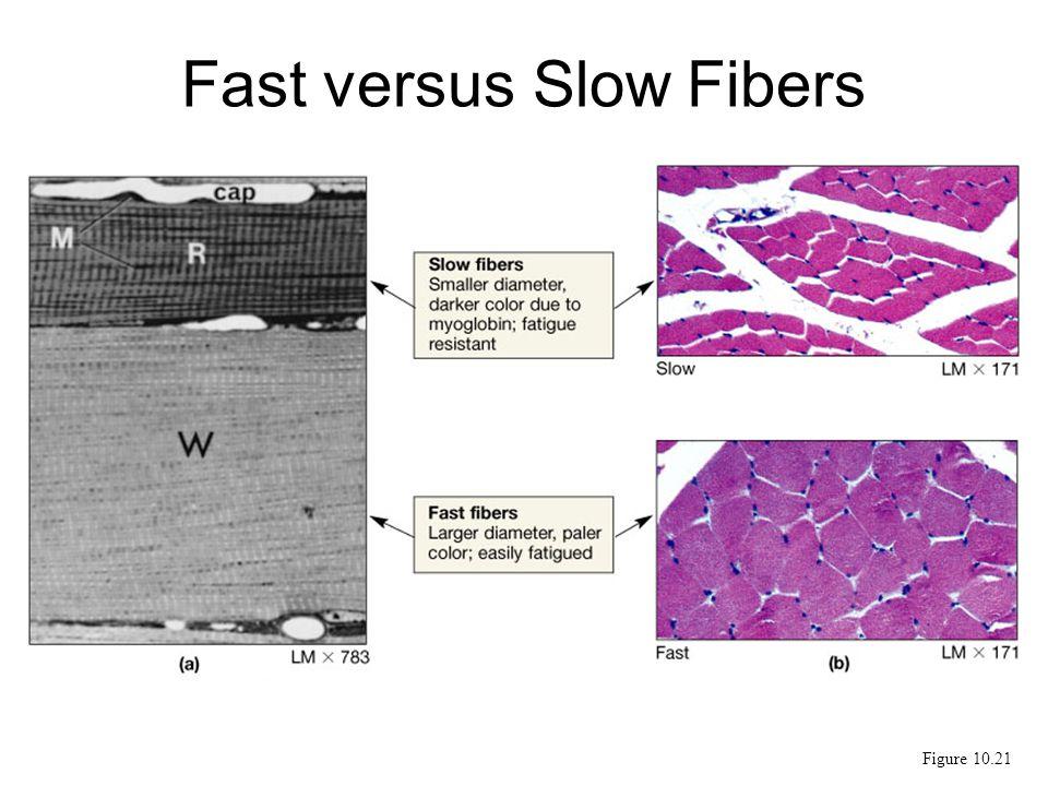 Fast versus Slow Fibers