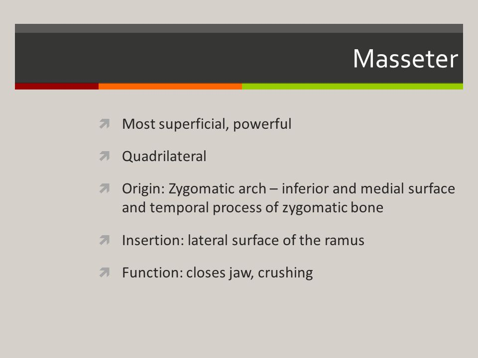 Masseter Most superficial, powerful Quadrilateral