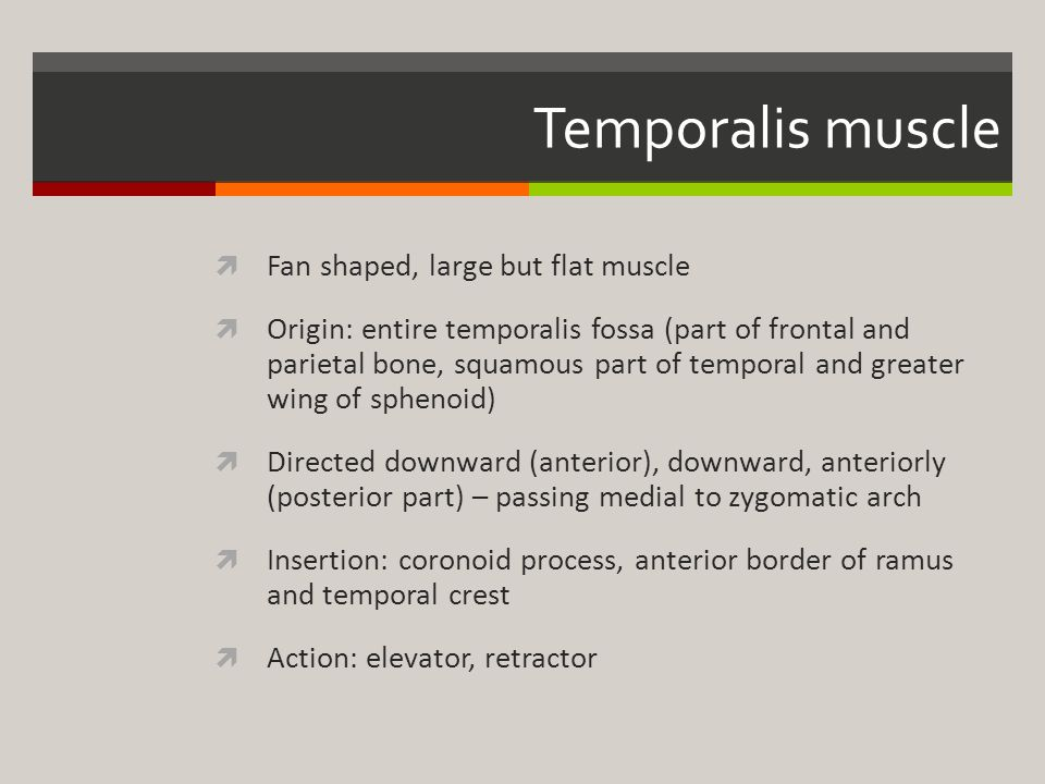 Temporalis muscle Fan shaped, large but flat muscle