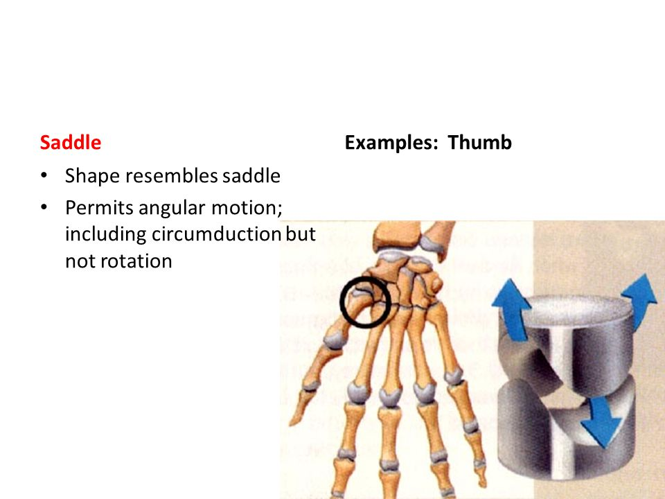 Saddle Examples: Thumb. Shape resembles saddle.