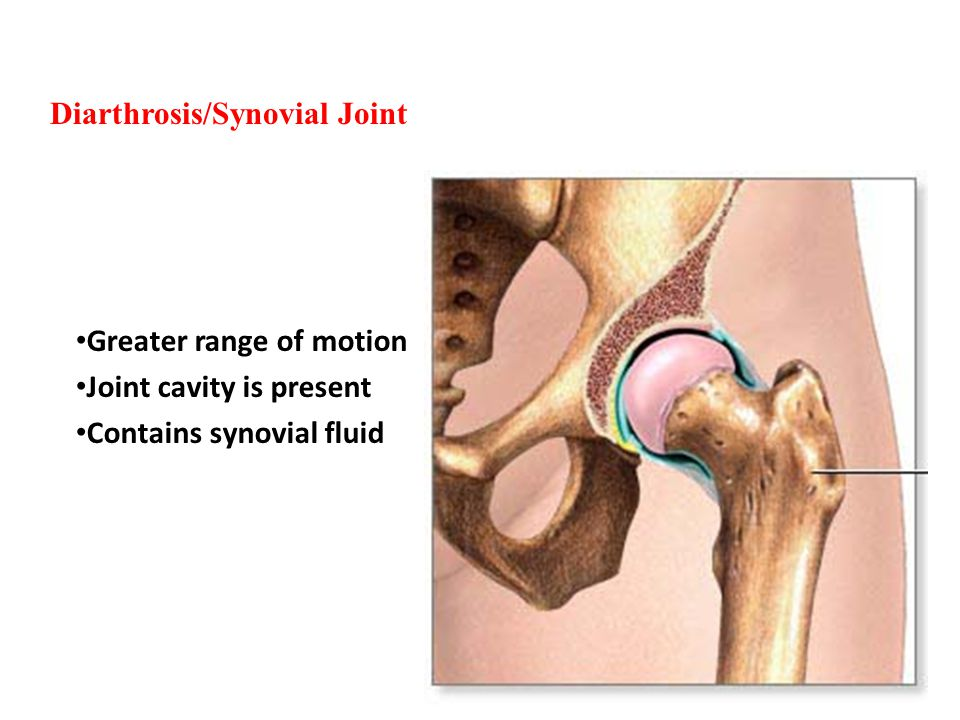Diarthrosis/Synovial Joint