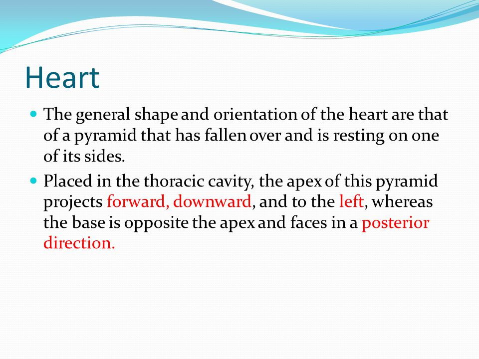Heart The general shape and orientation of the heart are that of a pyramid that has fallen over and is resting on one of its sides.