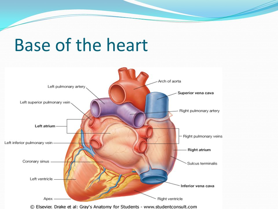 Base of the heart