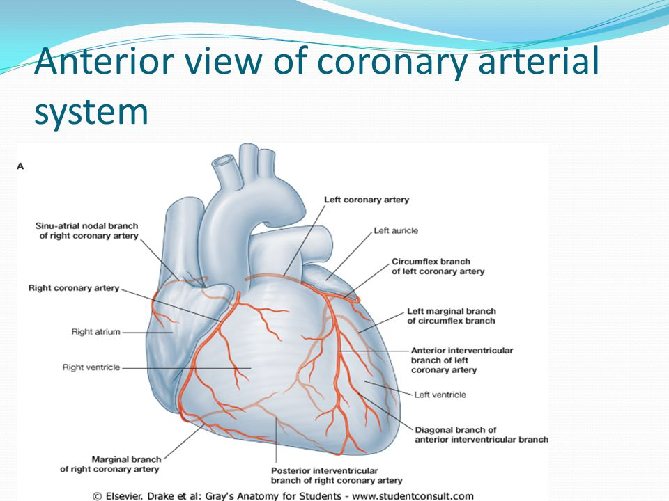 Anterior view of coronary arterial system