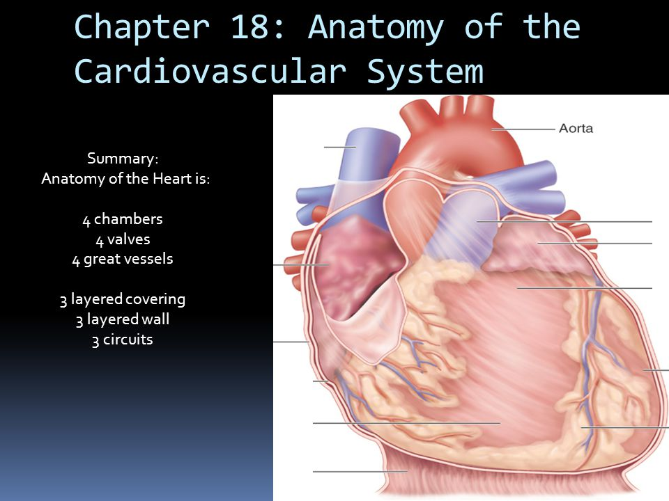 Heart Diagram Anatomy And Physiology Ch 18 - DIY Enthusiasts Wiring ...