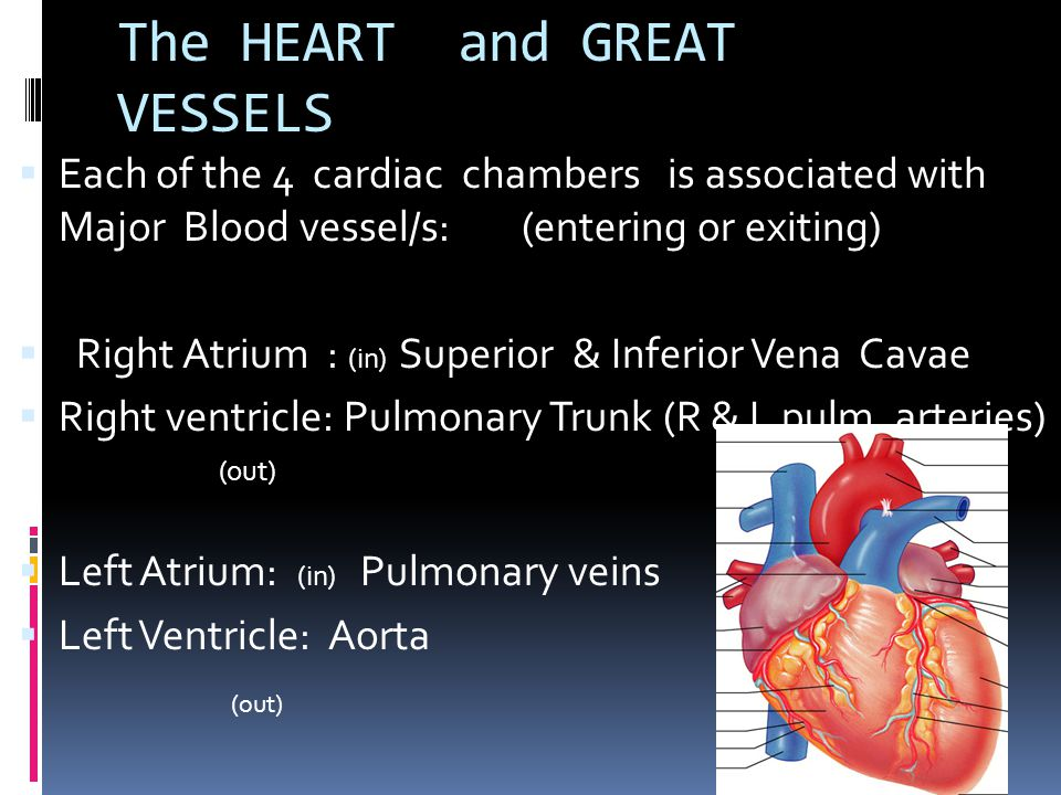 The HEART and GREAT VESSELS