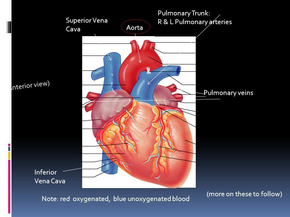 R & L Pulmonary arteries Superior Vena Cava Aorta