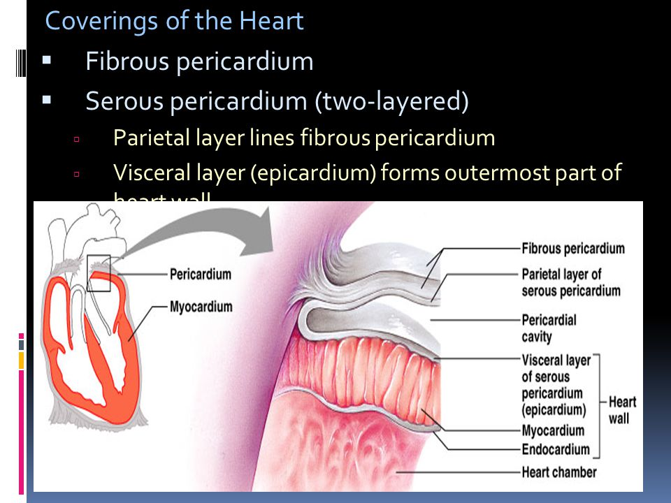 Serous pericardium (two-layered)
