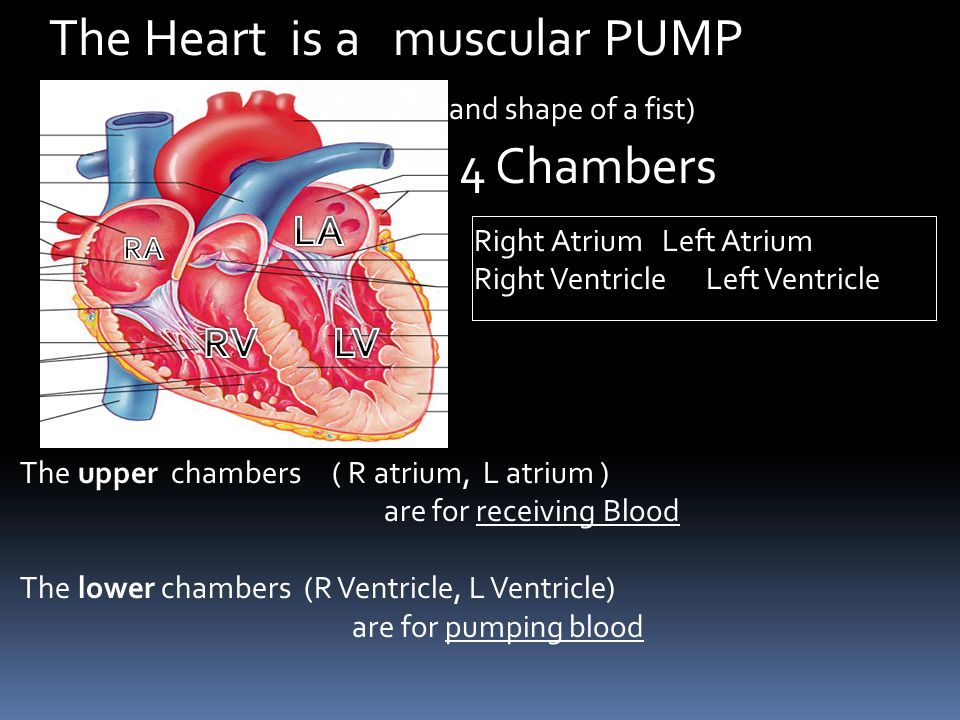 The Heart is a muscular PUMP with 4 Chambers