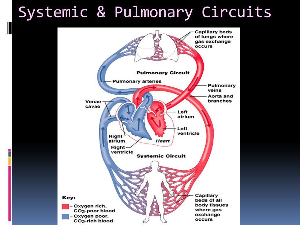 Systemic & Pulmonary Circuits