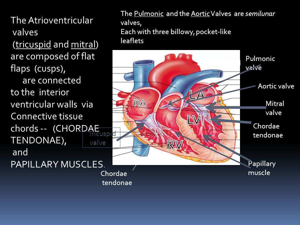 LA LV RV The Atrioventricular valves (tricuspid and mitral)