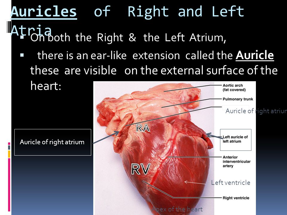 Chapter 18 Anatomy Of The Cardiovascular System Ppt Video Online